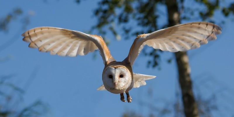 barn-owl-1107397_1280.jpg